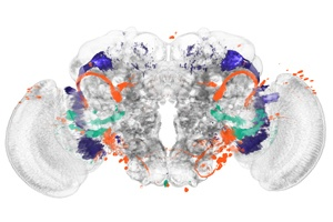 Identifying Brain Regions Automatically: Biologists develop a new method for analyzing brain images and demonstrate it with a study on fruit flies