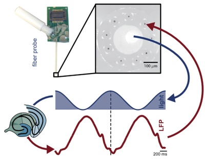 Synthetic brain rhythms   Scientists used optogenetic stimulation to induce slow brain rhythms in vivo